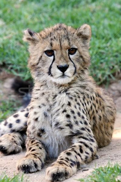 Jonge cheetah kat portret cute baby Stockfoto © fouroaks