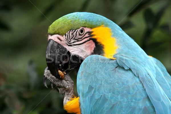 Azul oro aves comer tuerca semillas Foto stock © fouroaks