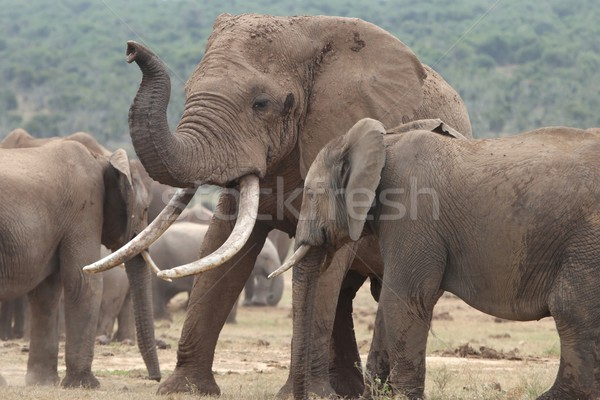 African Elephant Mates Stock photo © fouroaks