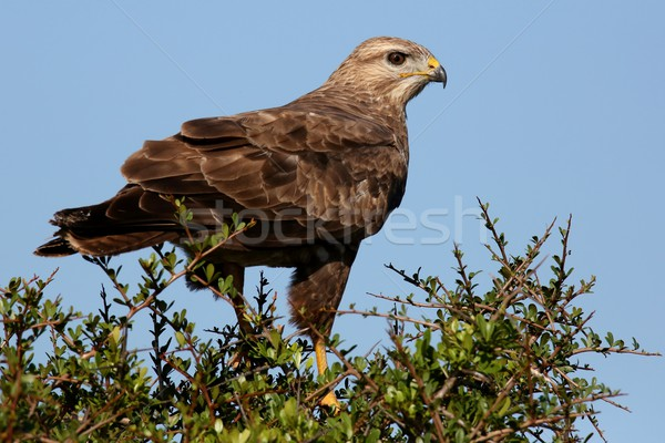 Steppe Buzzard Bird of Prey Stock photo © fouroaks
