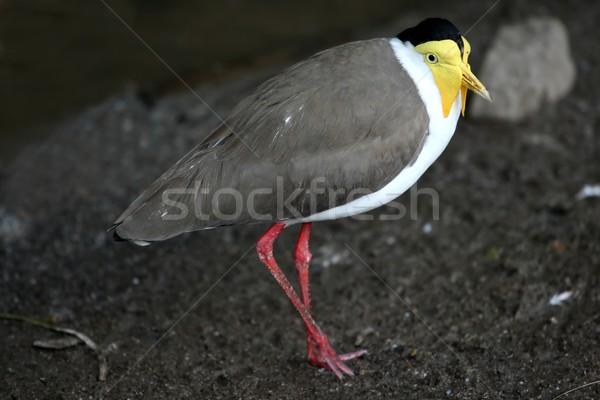 Yellow Wattled Plover Bird Stock photo © fouroaks