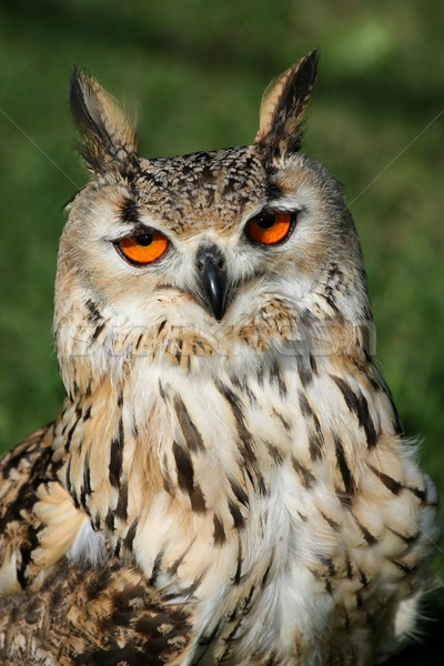 Eagle owl portrait orange yeux oreille Photo stock © fouroaks