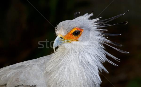 Ritratto segretario uccello preda arancione faccia Foto d'archivio © fouroaks