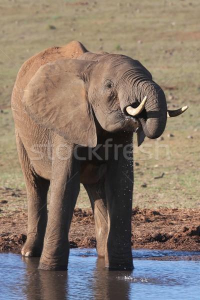 Afrika fil büyük erkek içme cilt güç Stok fotoğraf © fouroaks