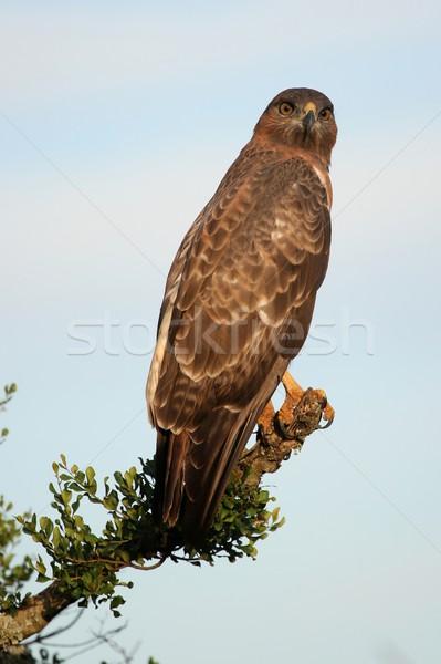 Kite vogel buit Geel oog Blauw Stockfoto © fouroaks