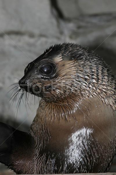 Cape Fur Seal Stock photo © fouroaks