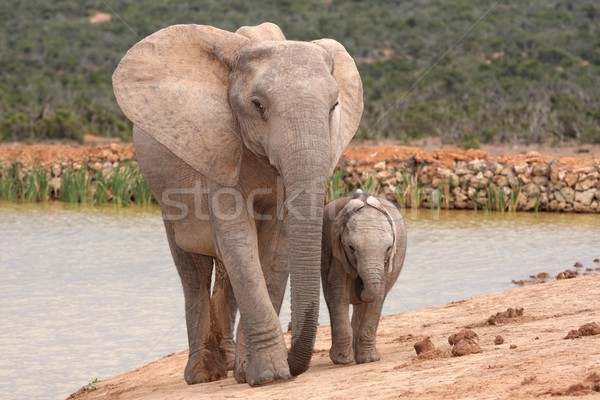 Elephant Baby and Mother Stock photo © fouroaks