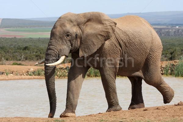 African Elephant at Waterhole Stock photo © fouroaks