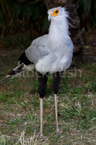 秘書 鳥 餌食 長い脚 かなり 羽毛 ストックフォト © fouroaks