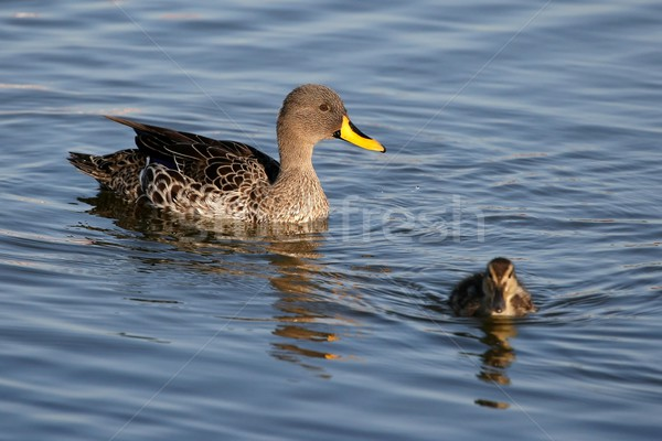 Eend eendje moeder kijken zwemmen weg Stockfoto © fouroaks