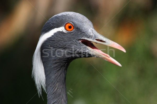 Demoiselle Crane Bird Stock photo © fouroaks