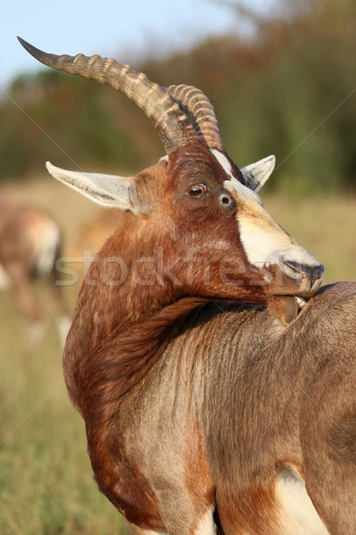 Blesbok Antelope with Itch Stock photo © fouroaks