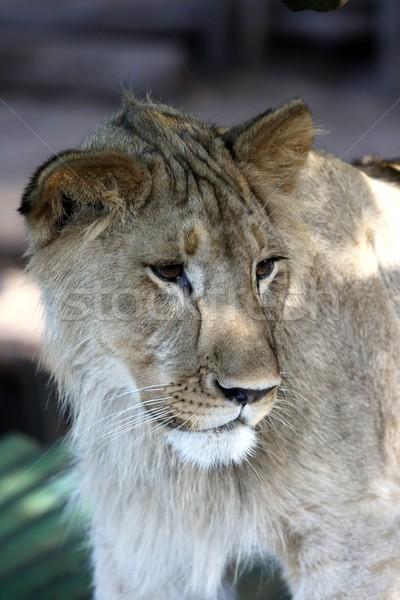 Fiatal oroszlán férfi gyönyörű barna szemek természet Stock fotó © fouroaks