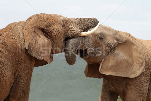 African Elephant Greeting Stock photo © fouroaks