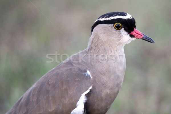 Crowned Plover Bird Stock photo © fouroaks