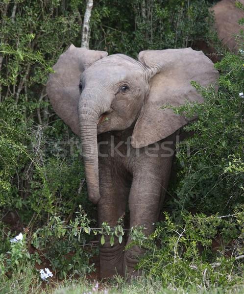 Bebé elefante africano elefante fuera África Bush Foto stock © fouroaks