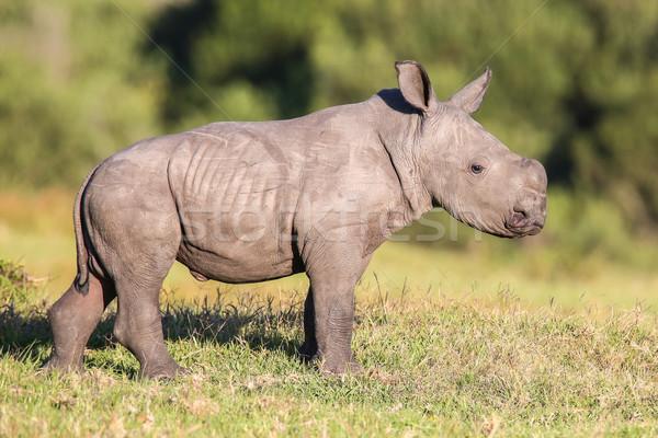 Cute baby rhino biały nosorożec kłosie Zdjęcia stock © fouroaks