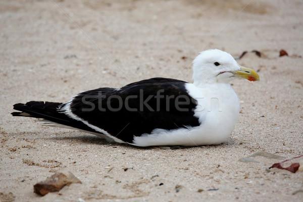 鴎 砂 砂浜 ビーチ 鳥 ストックフォト © fouroaks