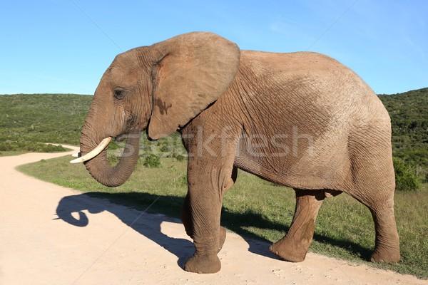 Male African Elephant Stock photo © fouroaks