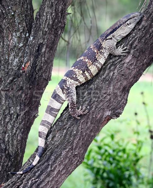 Water monitor reptiel klimmen boom Stockfoto © fouroaks