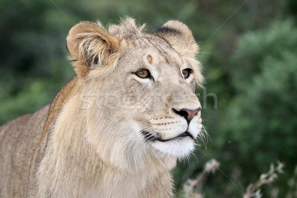 ライオン 肖像 成人 自然 猫 ストックフォト © fouroaks