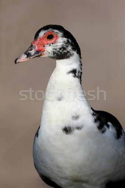 カモ 黒白 赤 顔 鳥 ファーム ストックフォト © fouroaks