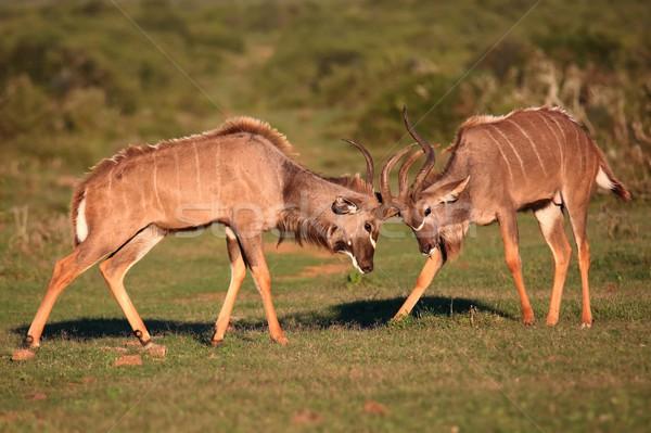 Kudu Antelope Battle Stock photo © fouroaks