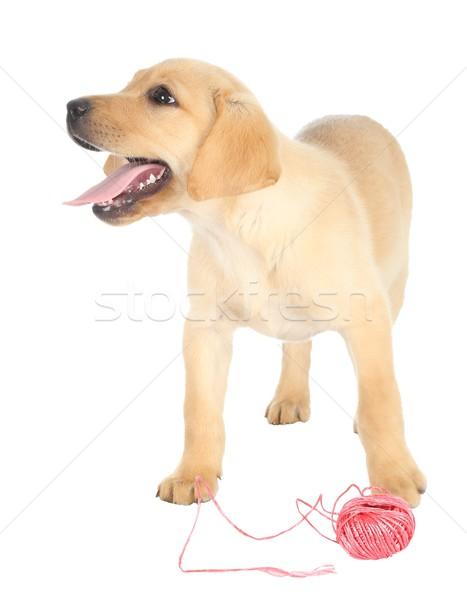 Cute puppy string aanbiddelijk bal Rood Stockfoto © fouroaks