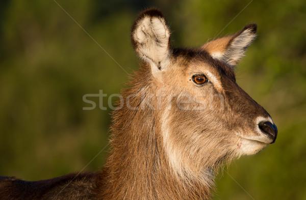 Retrato feminino grande orelhas desgrenhado casaco Foto stock © fouroaks