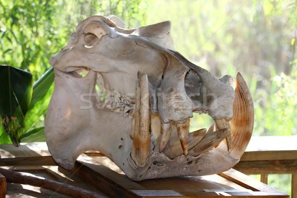 Víziló koponya víziló óriási éles fogak Stock fotó © fouroaks