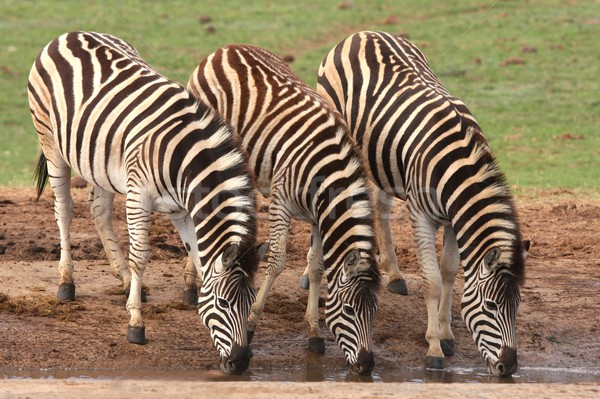 Drinking Zebras Stock photo © fouroaks