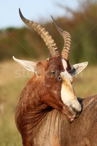 Stock fotó: Afrika · száj · szőr · szafari · közelkép · vadvilág