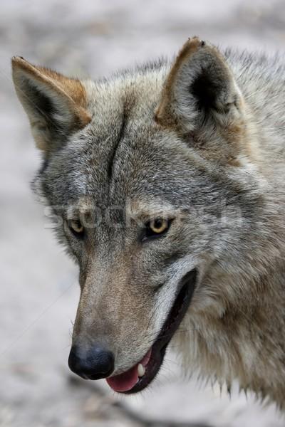 Timber Wolf Portrait Stock photo © fouroaks