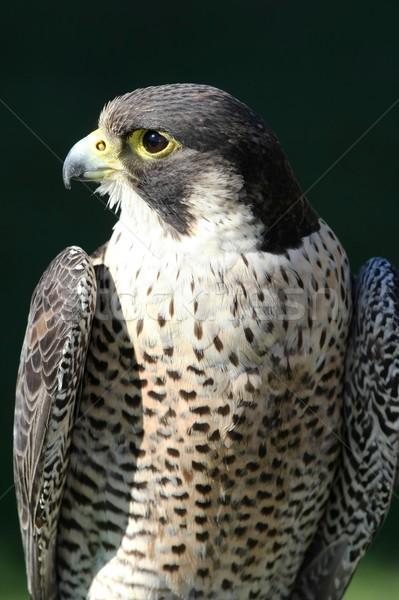Valk vogel buit mooie gevederte oog Stockfoto © fouroaks