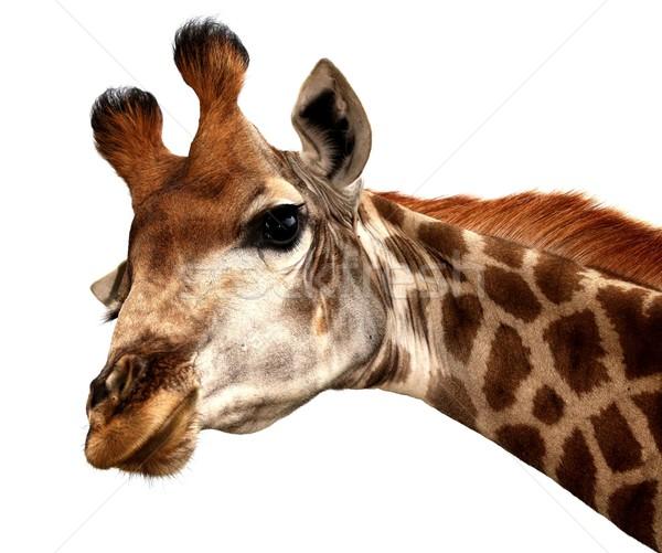 Funny Giraffe Portrait Stock photo © fouroaks