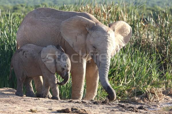アフリカゾウ ブラザーズ 小さな 水 穴 ストックフォト © fouroaks