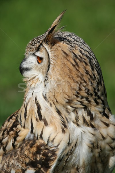 Eagle owl profile orange oeil oreille Photo stock © fouroaks