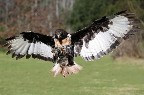 Buizerd vogel vlucht buit vliegen vleugels Stockfoto © fouroaks