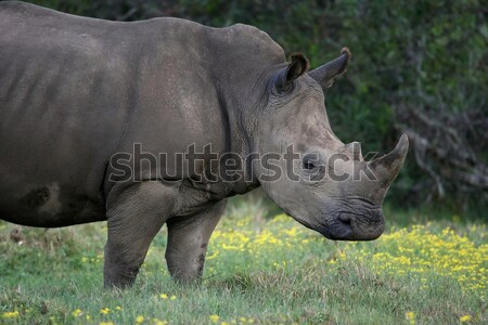 Large White Rhino Stock photo © fouroaks