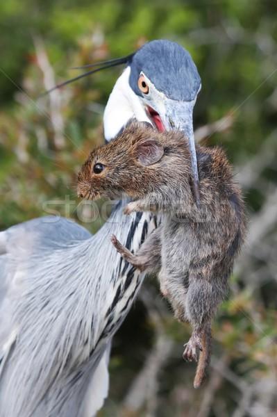 Heron Bird and Rat Stock photo © fouroaks
