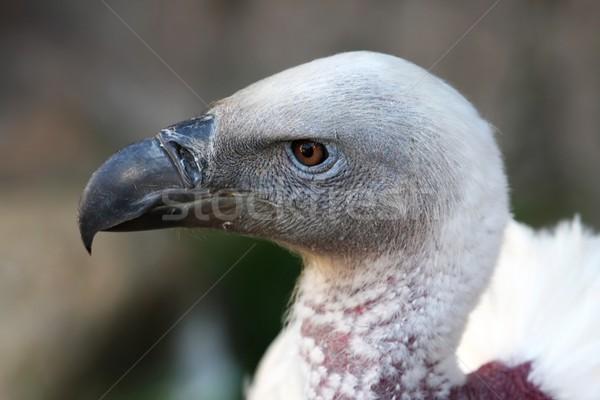 Griffon Vulture Stock photo © fouroaks