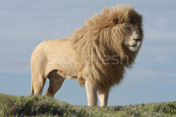 White Lion Male Stock photo © fouroaks