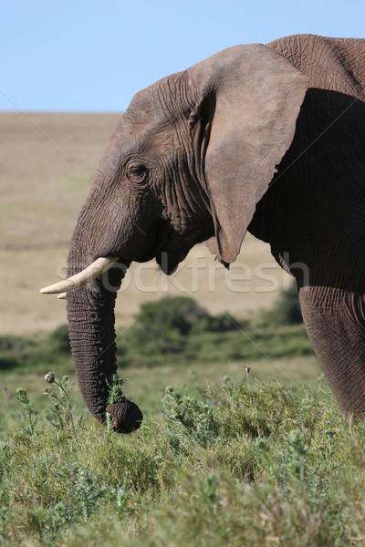 Masculino elefante africano alimentação textura preto cabeça Foto stock © fouroaks