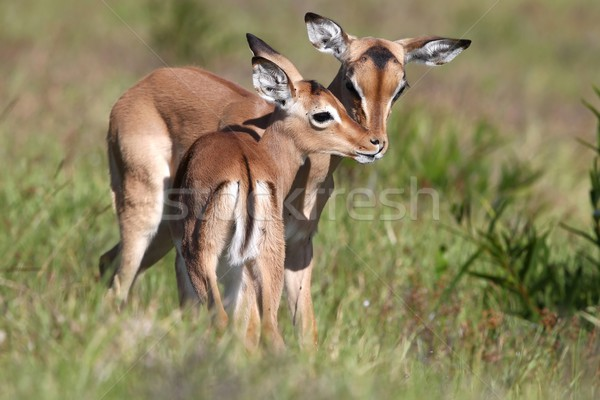 Baby Impala Antelope Kiss Stock photo © fouroaks