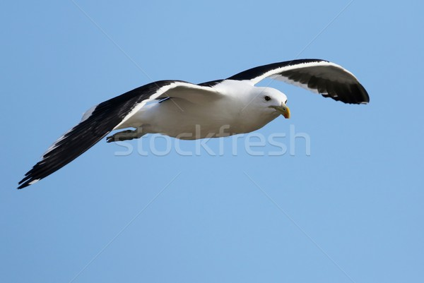 Seagull Gliding Stock photo © fouroaks