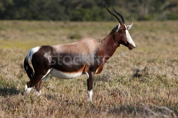Bruin witte gras afrika dier afrikaanse Stockfoto © fouroaks