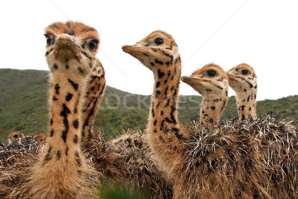 Ostrich Chicks Stock photo © fouroaks