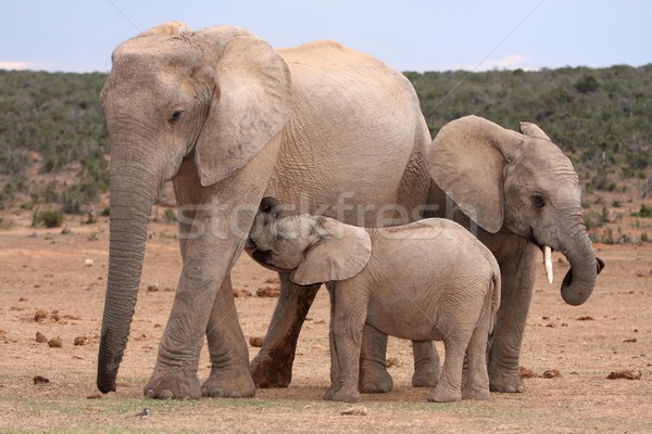 Stock photo: Suckling Baby Elephant
