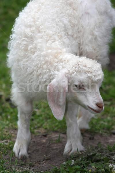 Angora Goat Lamb Stock photo © fouroaks