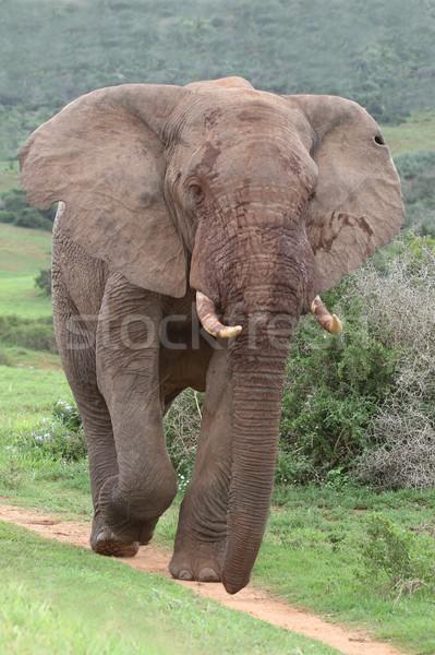 African Elephant Stock photo © fouroaks